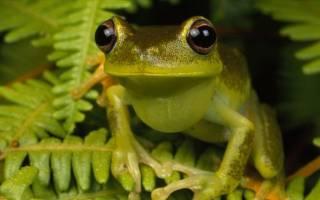 К чему снится большая лягушка или жаба