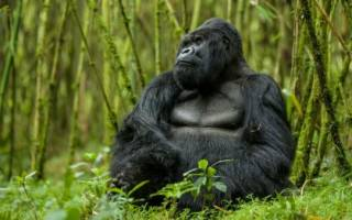 К чему снится большая горилла