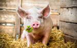 Сонник свиньи много