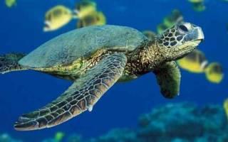 Сон про черепаху
