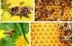 Пчелы сонник миллера