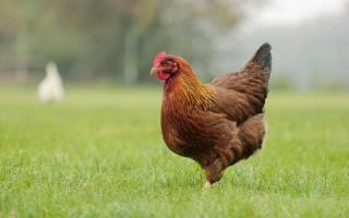 К чему снится курица живая