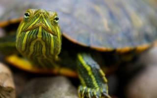 Сонник черепахи много