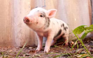 К чему снится свинья живая