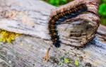 Сонник гусеница белая