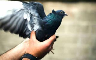 Сонник держать голубя в руках