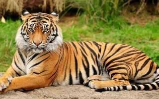 К чему снится тигр мужчине
