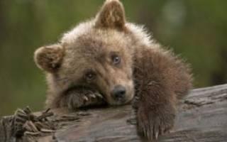 Что означает медведь во сне