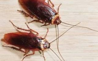 К чему снятся крысы и тараканы